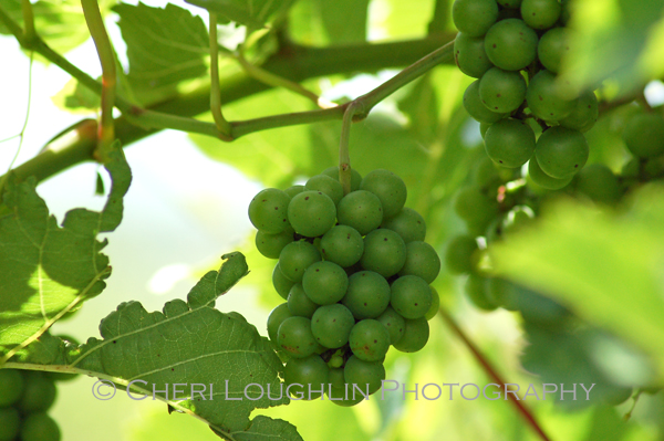 Grapes on vine at Breezy Hills Vineyard in Minden, Iowa - photo by Cheri Loughlin, The Intoxicologist