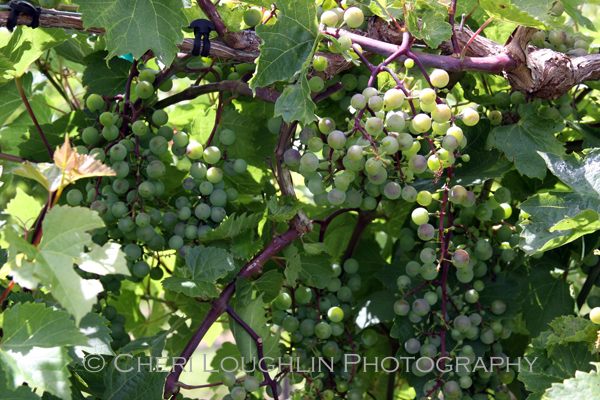 Clusters of beautifully colored grapes at Breezy Hills Vineyard - photo by Cheri Loughlin, The Intoxicologist