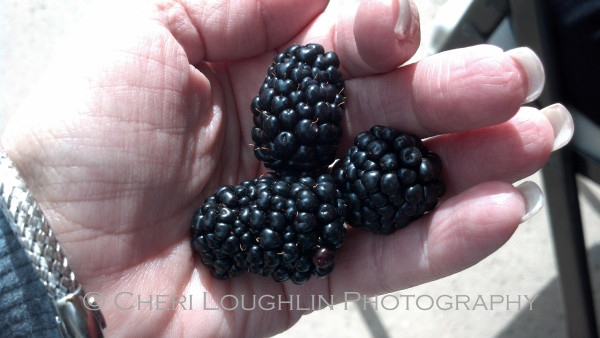 Season's Finest Blackberries