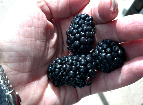 Fresh blackberries are the perfect fit for making homemade liqueur.