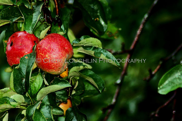 Apples - photo copyright Cheri Loughlin